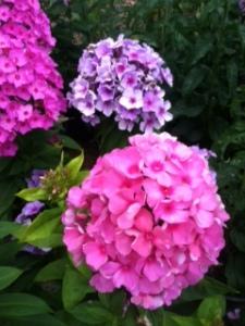Pink_Hydrangea