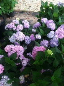 Purple_Hydrangeas