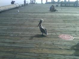 pelican_on_a_pier