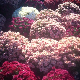 These mums were so stunning! All pinks and purples!