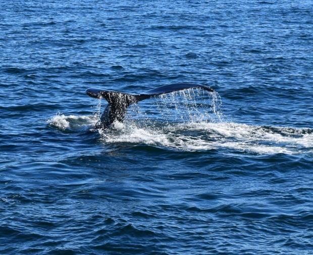 whale watching massachusetts