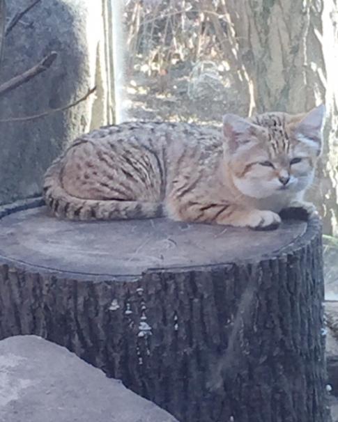 sand cat zoo